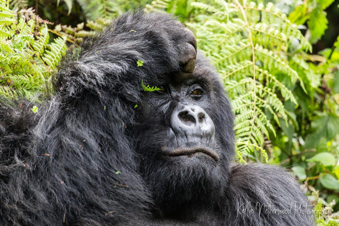 Mountain gorilla trekking tips in Rwanda