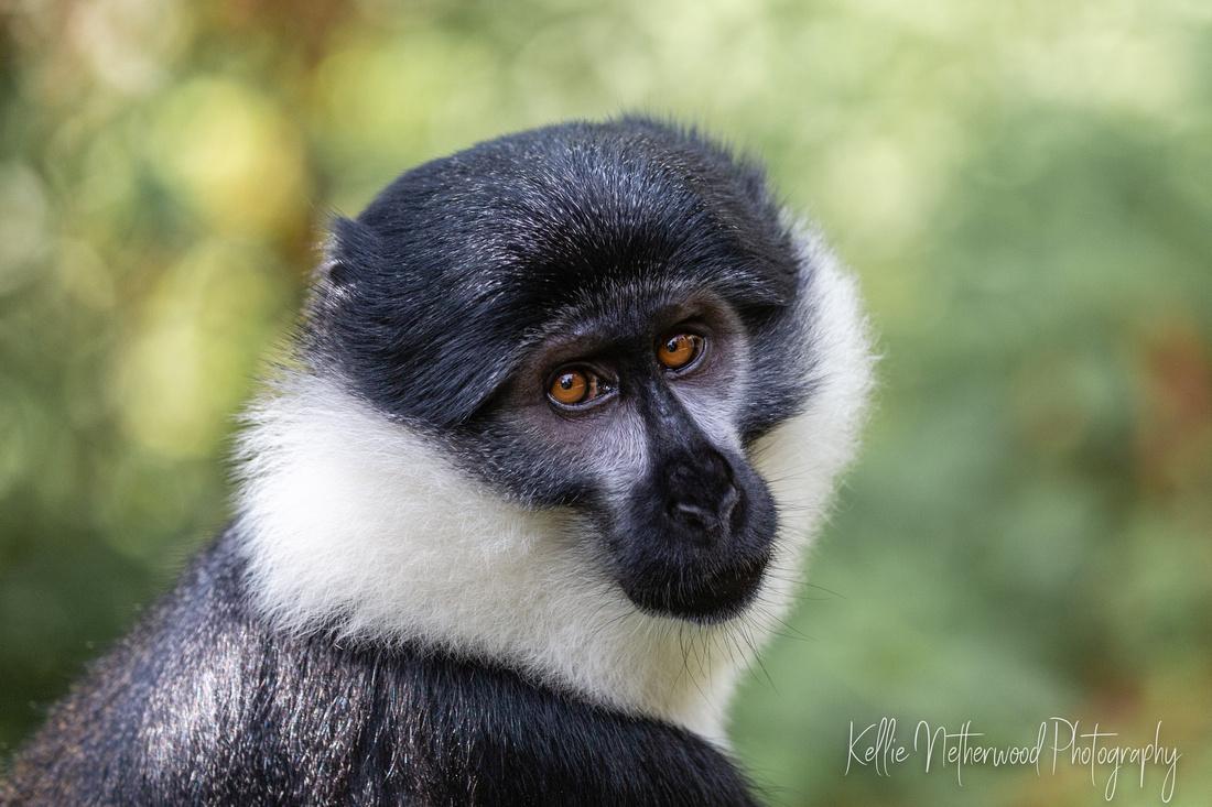 mountain monkey nyungwe national park Rwanda