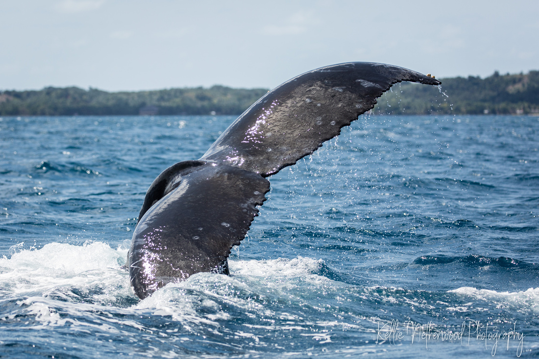 Breaching Humpback Whales at Ile Sainte Marie, Madagascar