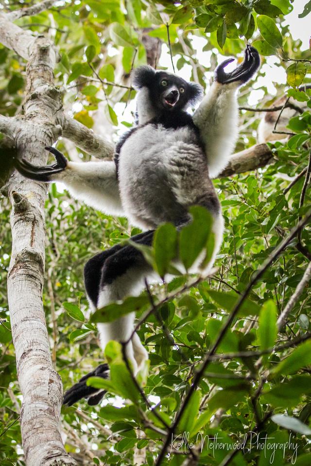 Indri lemur Madagascar