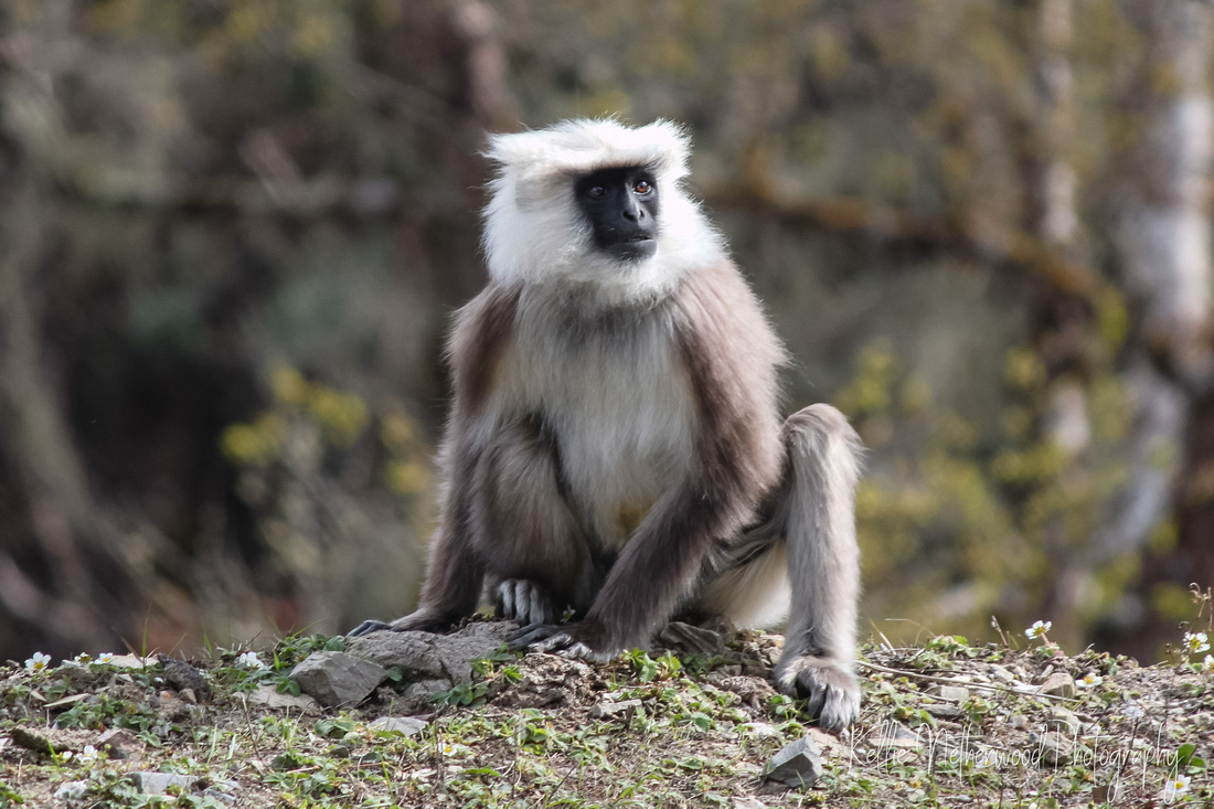 black-faced langur monkey Bhutan