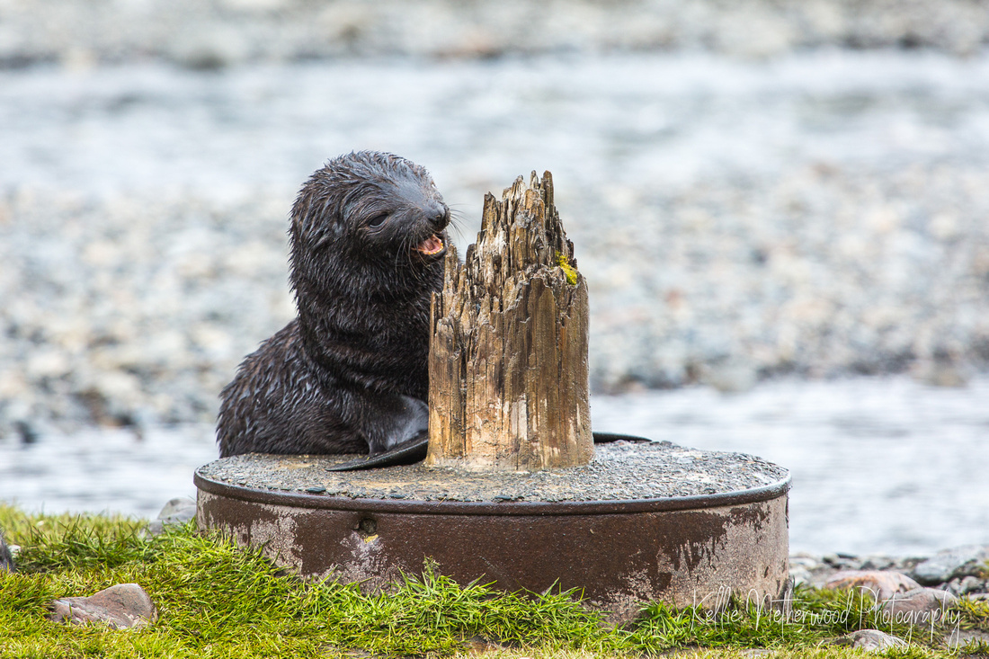 Fur seal pup on Stromness Harbour South Georgia